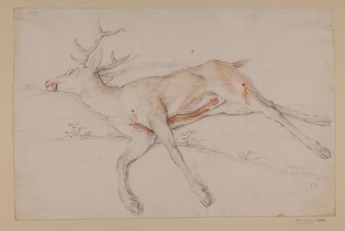 Estudio de ciervo muerto y desollado