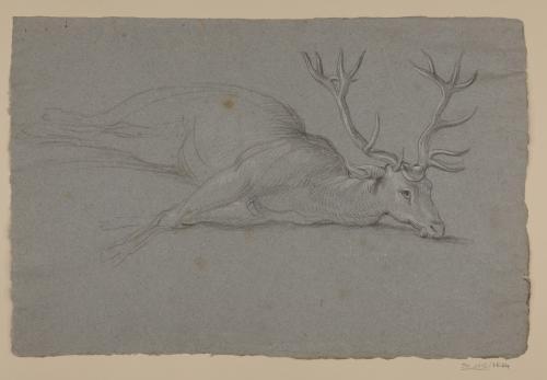 Estudio de ciervo muerto