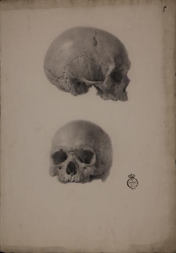 Estudio de cráneo de perfil hacia la izquierda y de frente