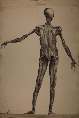 Estudio anatómico osteológico y muscular masculino posterior