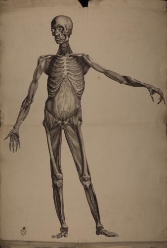 Estudio frontal anatómico osteológico y muscular masculino
