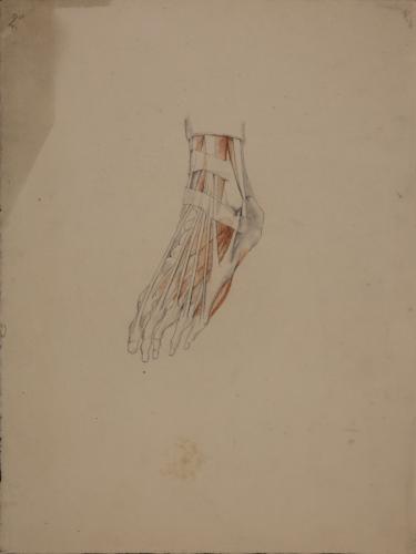 Estudio anatómico de los tendones de pie izquierdo