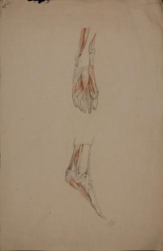 Estudio anatómico de pie derecho de frente e izquierdo de perfil