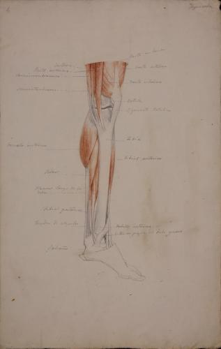 Estudio anatómico de músculos y tendones de pierna izquierda