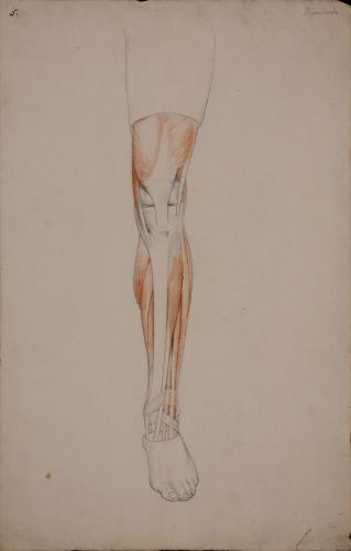 Estudio anatómico de músculos y tendones de pierna izquierda de frente