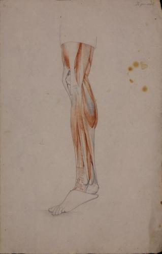 Estudio anatómico de músculos y tendones de pierna izquierda de perfil hacia la derecha