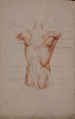 Estudio de los músculos de la espalda