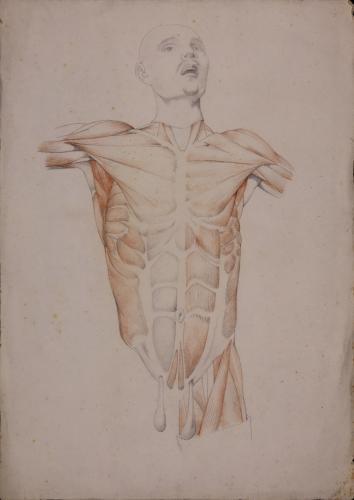 Estudio anatómico de músculos de torso masculino de frente