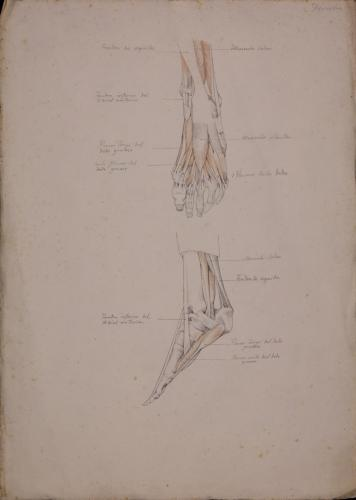 Estudio anatómico de músculos y tendones de pie izquierdo de frente y derecho de perfil