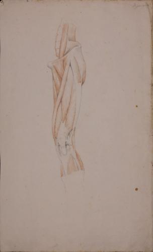 Estudio anatómico anterior de músculos y tendones de pierna izquierda