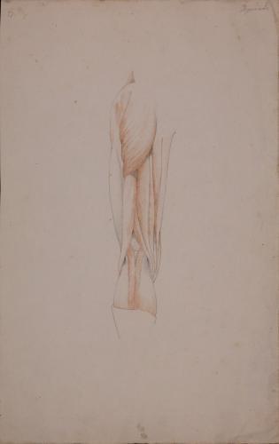 Estudio anatómico posterior de músculos y tendones de pierna izquierda