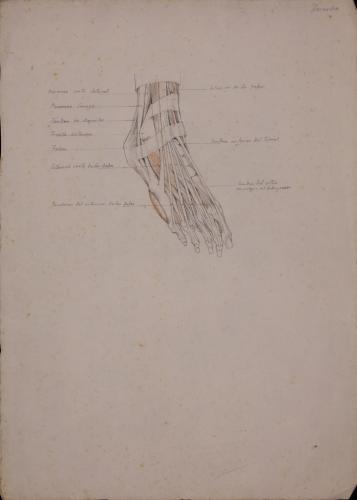 Estudio anatómico de tendones de pie derecho de tres cuartos