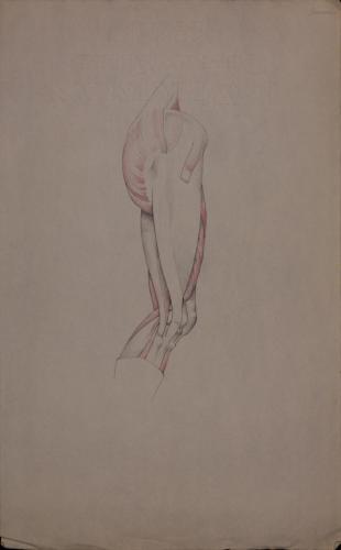 Estudio anatómico de músculos de pierna derecha de perfil hacia la derecha