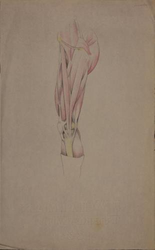 Estudio anatómico anterior de músculos de pierna derecha