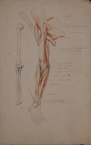 Estudio anatómico de los hueso y músculos de la cara interior de brazo derecho