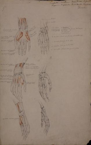 Estudio anatómico de huesos, músculos y tendones en tres vistas de mano derecha