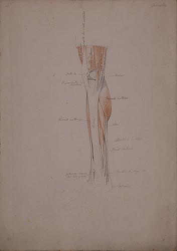 Estudio anatómico de pierna derecha de perfila hacia la derecha
