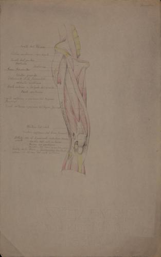 Estudio anatómico de músculos y tendones de pierna derecha
