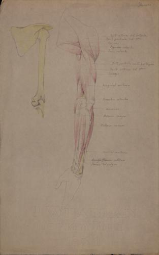 Estudio anatómico de huesos, músculos y tendones de brazo izquierdo