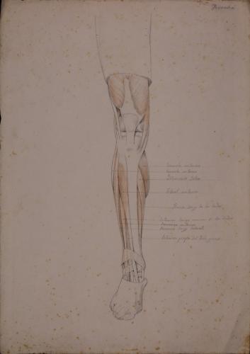 Estudio anatómico de músculos y tendones de pierna derecha de frente