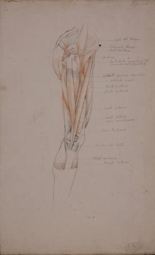 Estudio anatómico  de músculos y tendones de pierna derecha de perfil