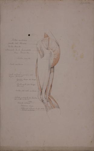 Estudio anatómico de músculos y tendones de pierna izquierda de perfil