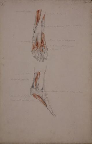 Estudio anatómico de músculos y tendones de pie izquierdo, vista posterior y de perfil