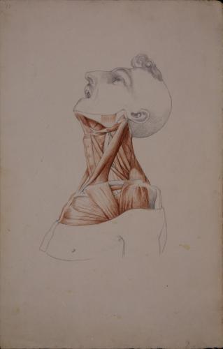 Estudio anatómico de los músculos del cuello de perfil hacia la derecha