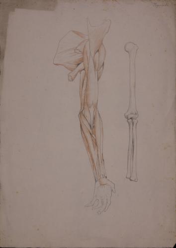 Estudio anatómico de huesos, músculos y tendones de brazo izquierdo, vista anterior