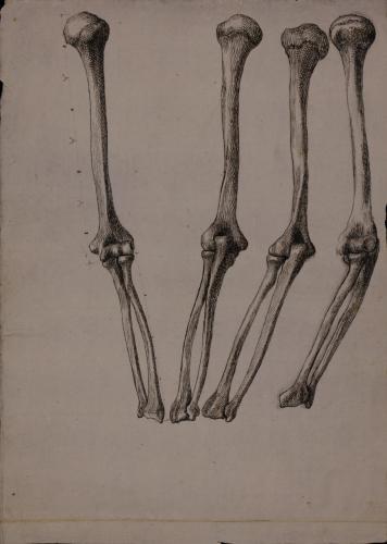 Estudio de los huesos del brazo desde varios puntos de vista