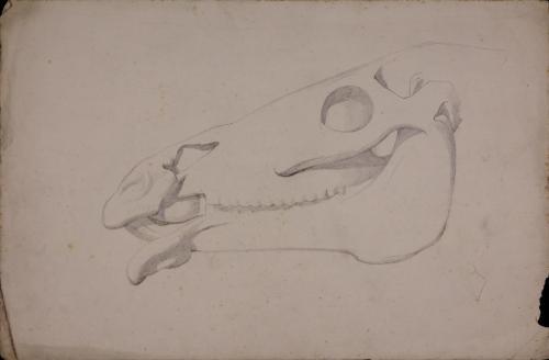 Estudio de cráneo de équido