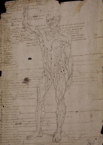 Estudio anatómico muscular masculino