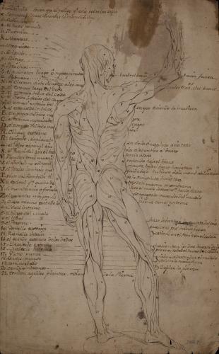 Estudio anatómico muscular masculino de espaldas