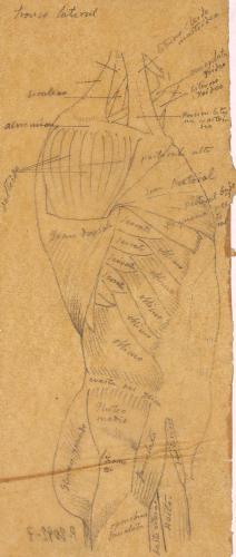 Estudio lateral de los músculos del tronco