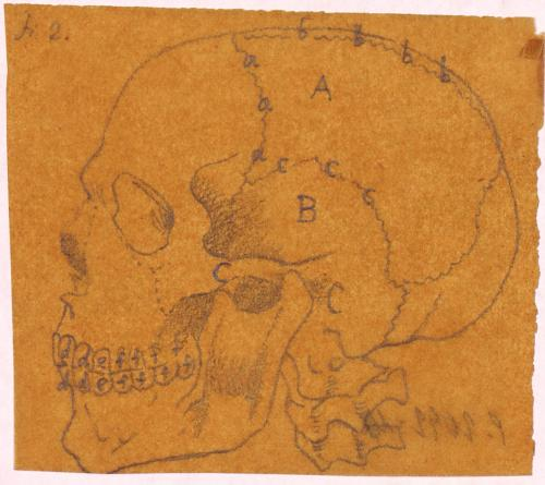 Estudio lateral del cráneo humano