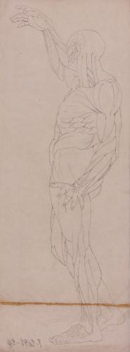 Estudio de modelo anatómico masculino de perfil con el brazo derecho alzado