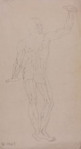 Estudio de  modelo anatómico masculino de espaldas
