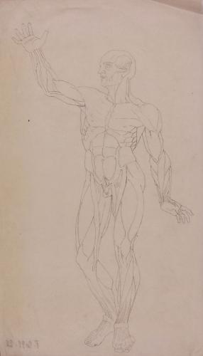 Estudio de modelo anatómico masculino de frente
