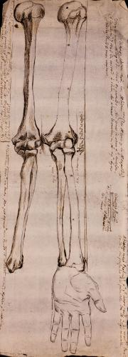 Estudio anterior y posterior de los huesos del brazo izquierdo