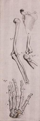 Estudio de los huesos del brazo y de la mano izquierda