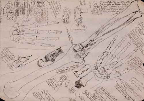 Estudio de los huesos del brazo y de la mano