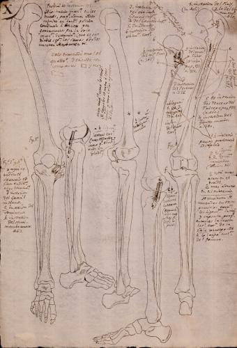 Estudio de los huesos de la pierna