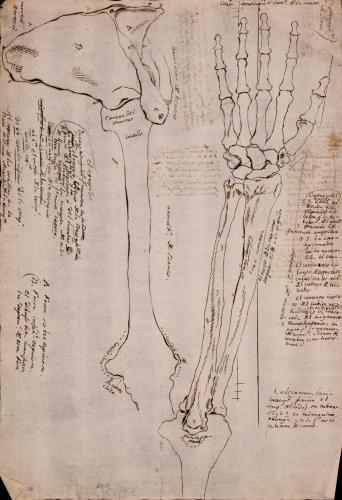 Estudio de los huesos del brazo y mano