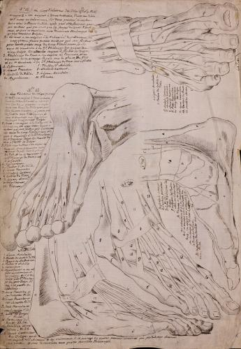 Estudio frontal, lateral y posterior de los músculos, tendones y ligamentos de los pies