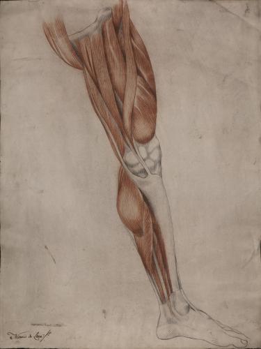 Estudio de los músculos y tendones de pierna izquierda