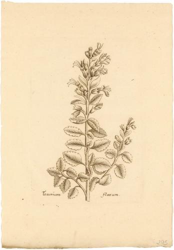 Teucrium Flavum