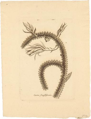 Cactus Flagelliformis