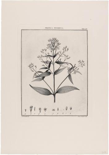 235 Piqueria Trinervia