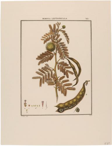 Mimosa Leptophylla