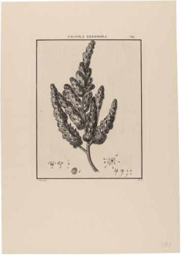Salsosa Eriophora